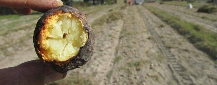 staw uprawy ziemniaki1