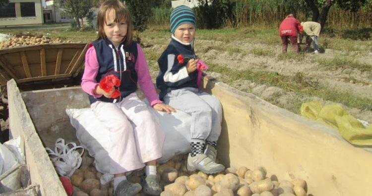 staw uprawy ziemniaki2