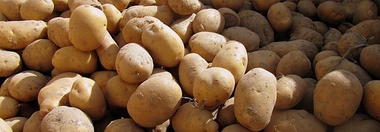 staw uprawy ziemniaki3